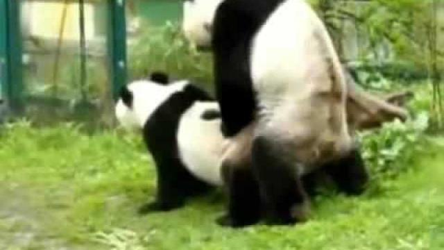Панды и любовь. Животные. Pands and love. Animals