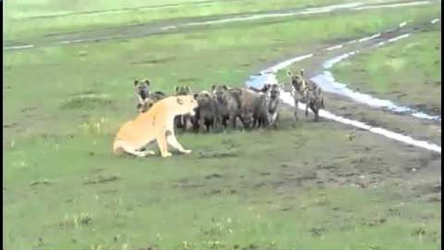 Львица не испугалась целого стада гиен! Лев-царь в мире животных